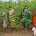 रोजगार हमी योजनेअंतर्गत जामगाव मध्ये फुलवली शेतकऱ्यांनी तुतीची बाग.