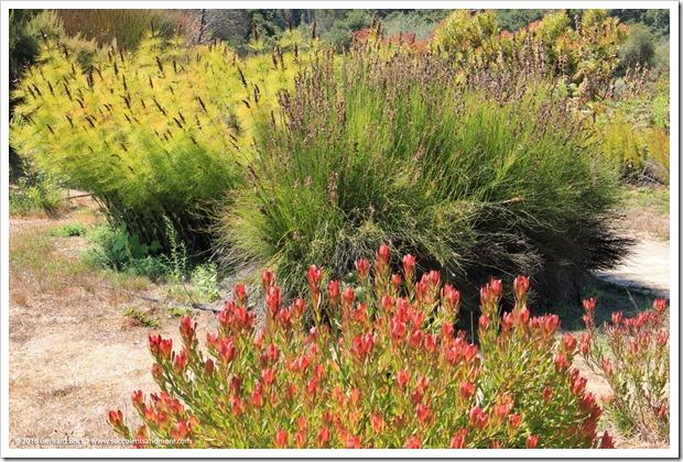 160813_UCSC_Arboretum_Elegia-capensis- -Leucadendron-Wilsons-Wonder_001