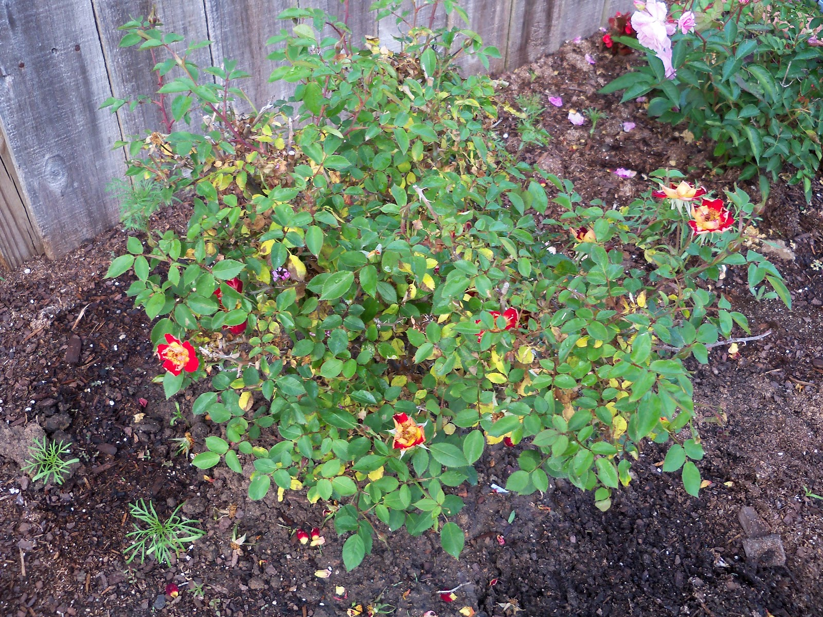 Gardening 2010 - 101_1037.JPG