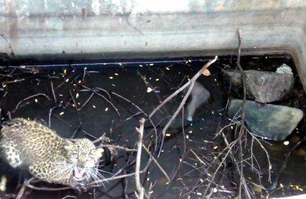 Vellore : leopard cub was stuck inside a 10-foot deep water tank