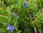 Wild lowbush blueberries.
