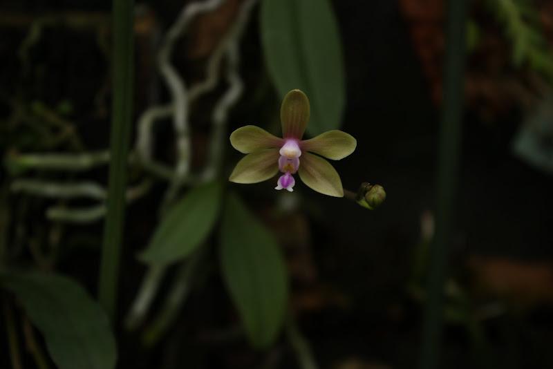 Phalaenopsis stobartiana IMG_3080