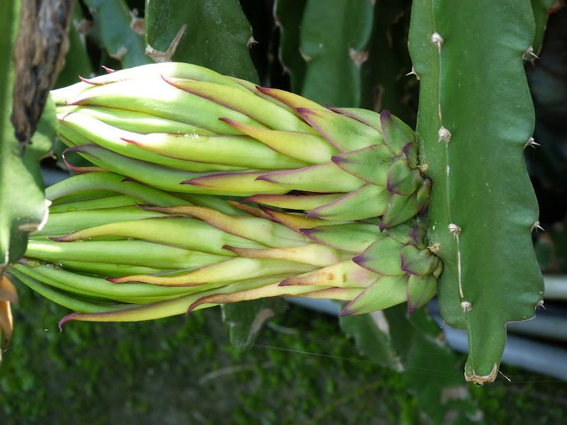 Fleur du dragon fruit