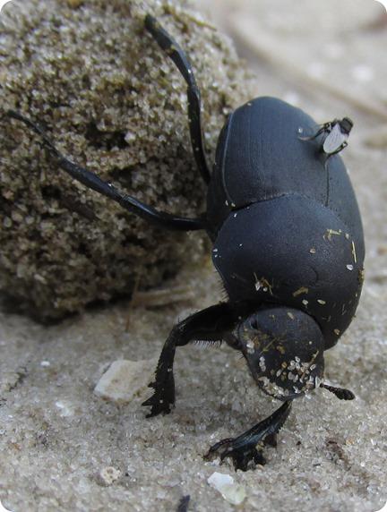 6 Dung Beetle (3)