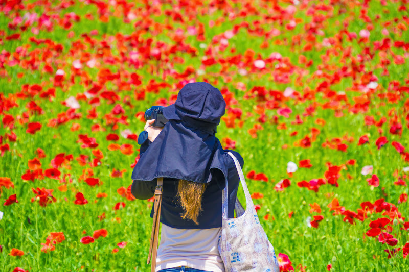 Showa Kinen Park Shirley poppy photo3