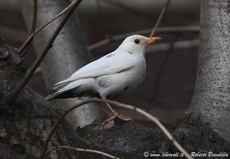 7_Merlo-bianco-(1)