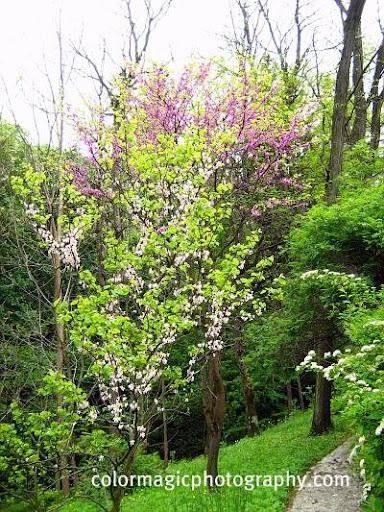 Redbud trees flowering-Cercis canadensis
