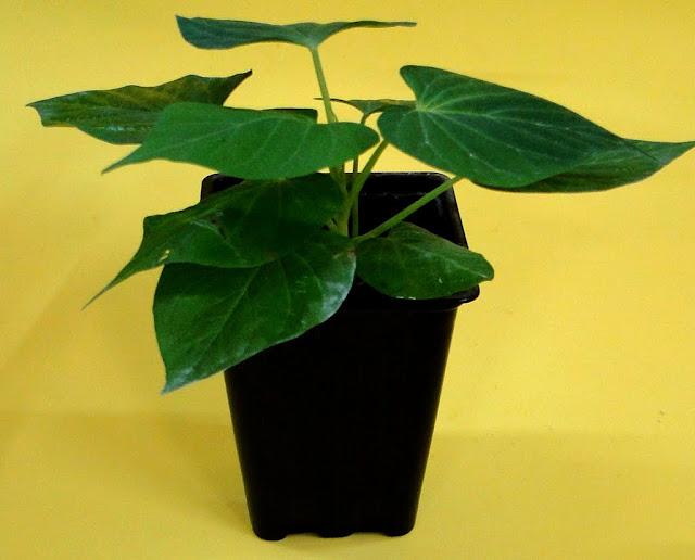 cultivo de meristemas para obtencion de batata libre de virus - 0030.JPG