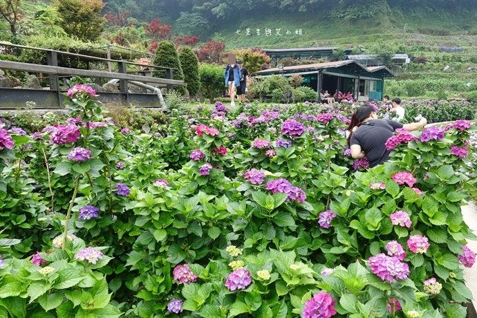 14 陽明山 繡球花 大梯田 竹子湖