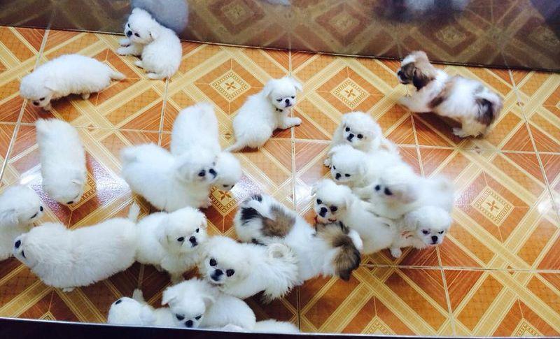 Cách nuôi chó Bắc Kinh thuần chủng và chó Bắc Kinh lai Nhật ở Việt Nam