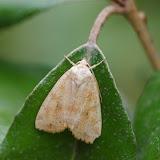 Noctuidae : Noctuinae : Cosmia trapezina (LINNAEUS, 1758). Les Hautes-Lisières (Rouvres, 28), 24 août 2012. Photo : J.-M. Gayman