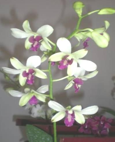 Anggrek Sonia godean.web.id
