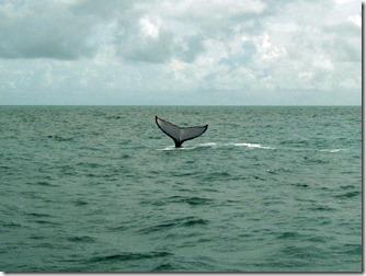 abrolhos-baleia-jubarte-2
