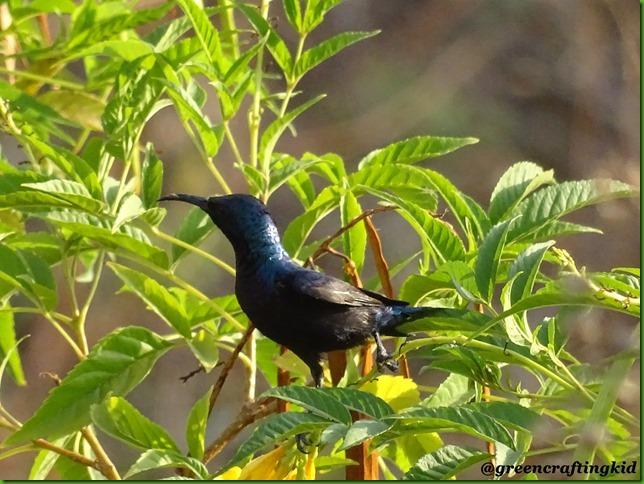 Purple Sunbird2