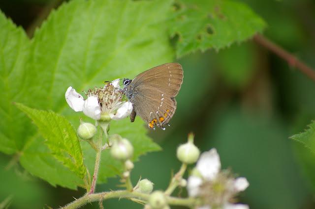 Satyrium ilicis ESPER, 1779, femelle. Les Hautes-Lisières (Rouvres, 28), 12 juin 2011. Photo : J.-M. Gayman