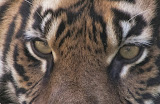 """Tiger Eyes"" by Dick Bumgarner - 3d place General B"