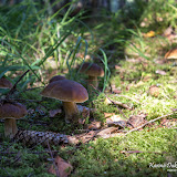Белый гриб (Boletus edulis)