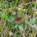 Noctuidae : Catocalinae : Euclidia glyphica (LINNAEUS, 1758). Hautes-Lisières (Rouvres, 28), 25 mai 2010. Photo : J.M. Gayman