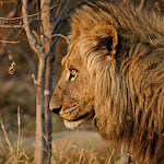 Africa-Lion Side Profile.jpg
