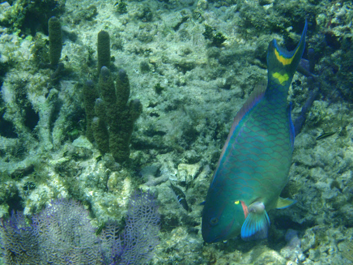 Sparisoma viride (Male Stoplight Parrotfish) near Tranquility Bay Resort.
