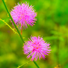 Wireflower by James Newberry - Flowers Flowers in the Wild ( macro, nature, green, pink, yellow, flower )
