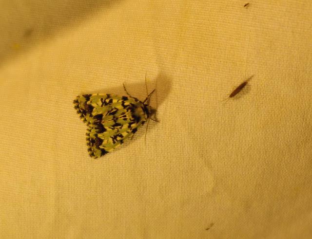 Noctuidae : Moma alpium OSBECK, 1778. Combe de l'Air, Forêt de Châtillon (Côte d'or), juin 2006. Photo : J.-M. Gayman