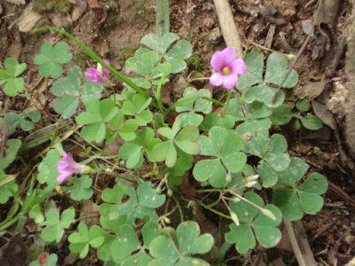 Oxalis sp.630 http://sites.google.com/site/florasbs/home  São Bento do Sul - Santa Catarina