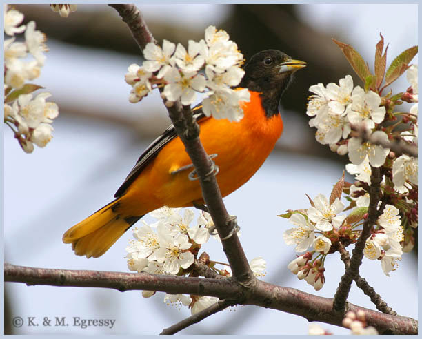 A lot of Baltimore Orioles overwinter in Costa Rica  (Karl Egressy)