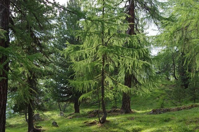 La forêt au-dessus de Sils-Maria, 1900 m (Engadine, Grisons, CH). 8 juillet 2013. Photo : J.-M. Gayman