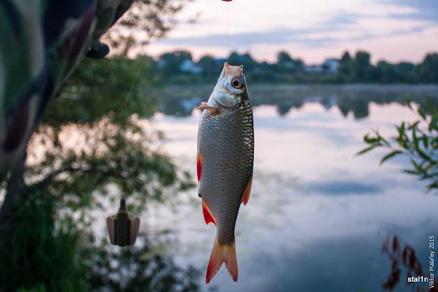 Перша рибка краснопірка
