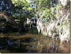 20151030_ Magnolia Plantation gardn Spanish moss (Small)