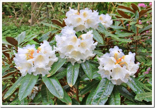 160410_Victoria_UVic_FinnertyGardens_0032_Rhododendron-bureavii