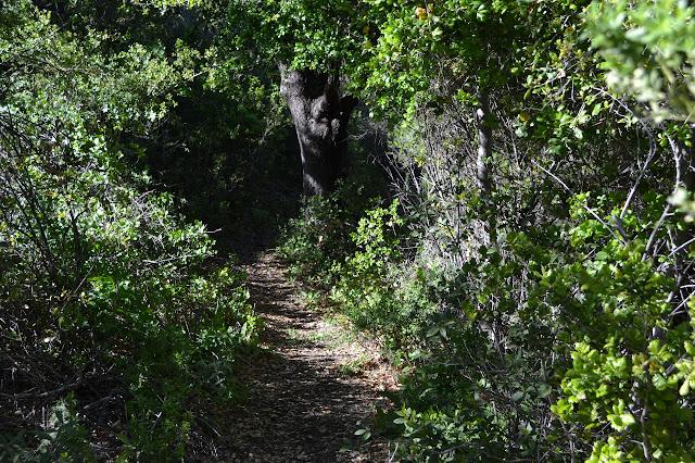 dirt path under oaks