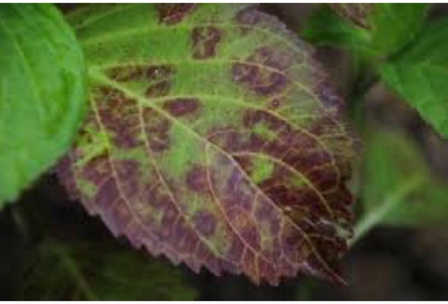 Fleuriste isabelle feuvrier ce qu 39 il faut savoir sur les maladies des hortensias by em - Maladie des hortensias photos ...