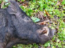wild-boar-hunting-safaris-11.jpg