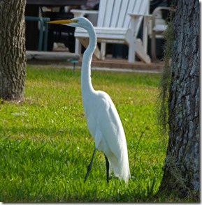 Great Egret, Crystal Beach, Fl