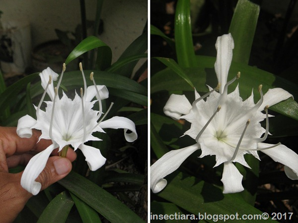 bunga bakung-horz