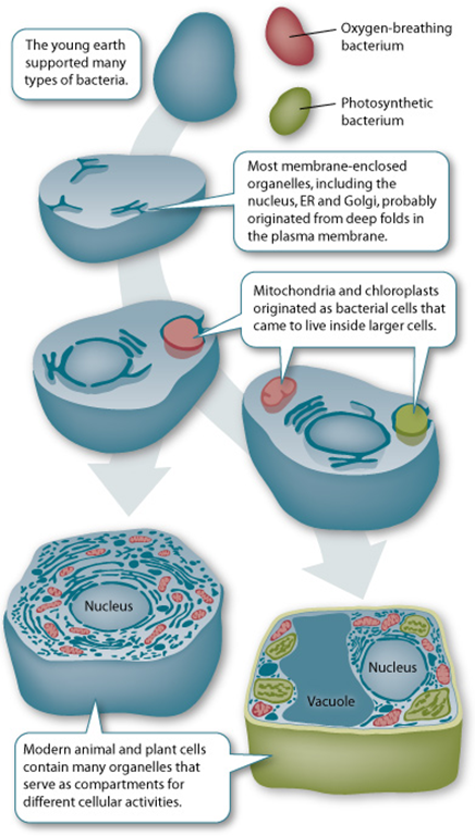 Endosymbiont theory