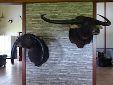 2 very impressive buffalo at the Carmor Plains Lodge. The cow on the left is very unusual but impressive. The bull on the right is the world record, 157 1/2 SCI. Taxidermy by Mel Burton, Australia