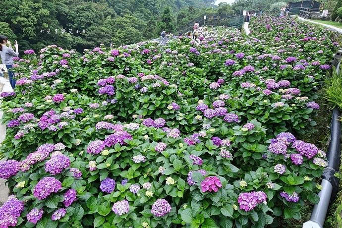 9 陽明山 繡球花 大梯田 竹子湖