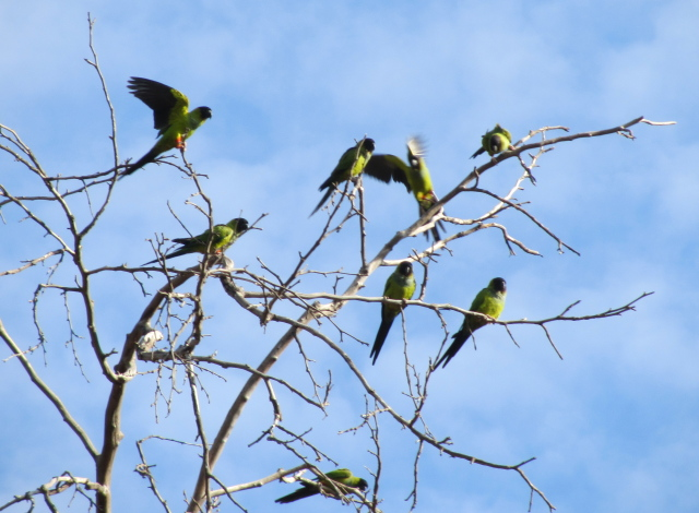 a segment of the local parrot flock