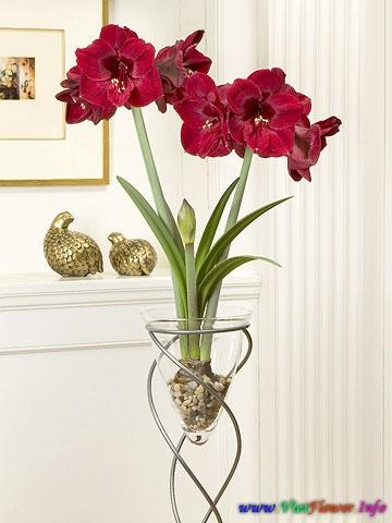 LAN HUỆ, TUYẾT HUỆ (TỨ DIỆN), Amaryllis/ Lily belladonna