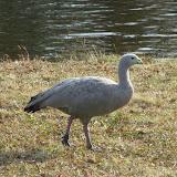Livingston Ripley Waterfowl Conservancy - P1020556.JPG