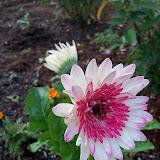 Gardening 2010 - 101_1029.JPG