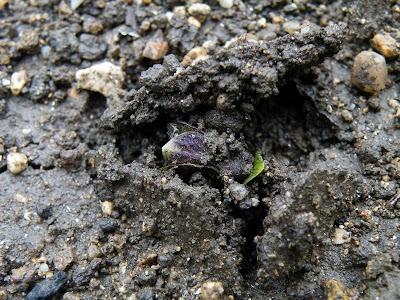 ジャガイモの芽が出てくるところ