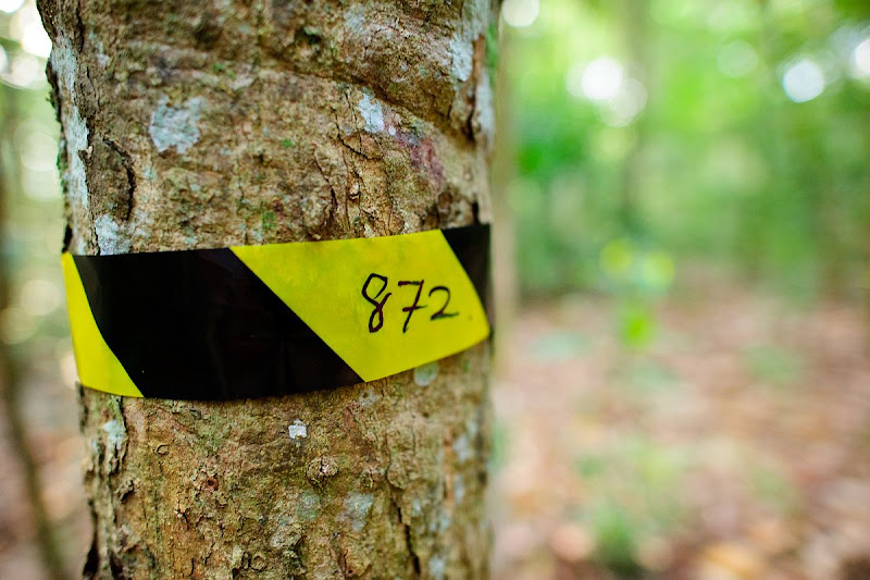 Rubber tree tagged