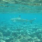 Kleine (50cm) zwartpunt haai