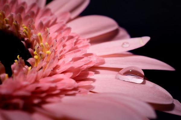 Gerbera rosa di Matteo Masini