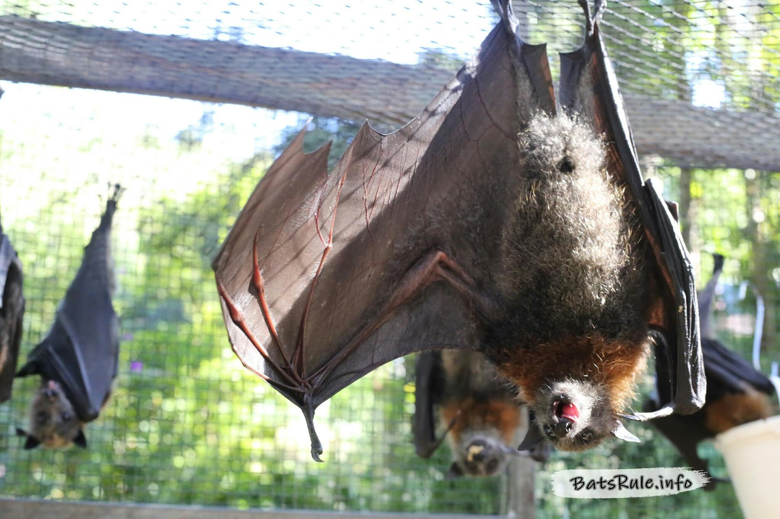 rehab megabat flying fox fruit bat