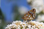 Storplettet perlemorsommerfugl på sommerfuglebusk.jpg